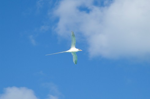 Lookout for Longtail Cahows flying through Bermuda's blue skies