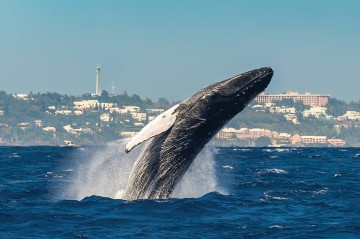 Humpback Whale watching in Bermuda