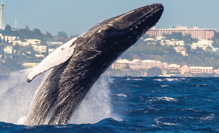 A humpback whale breaches off Bermuda